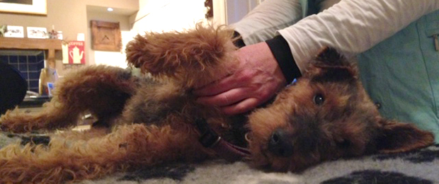 Gigsy receiving his Canine Massage Therapy
