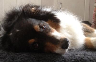 canine_massage_testimonials_Sierra